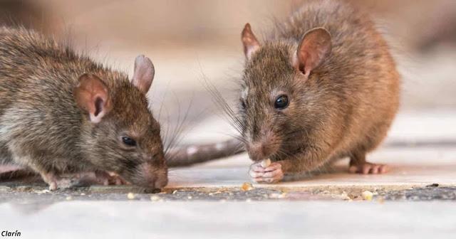 Тревога в Китае: крысы заражают людей новым штаммом гепатита Е