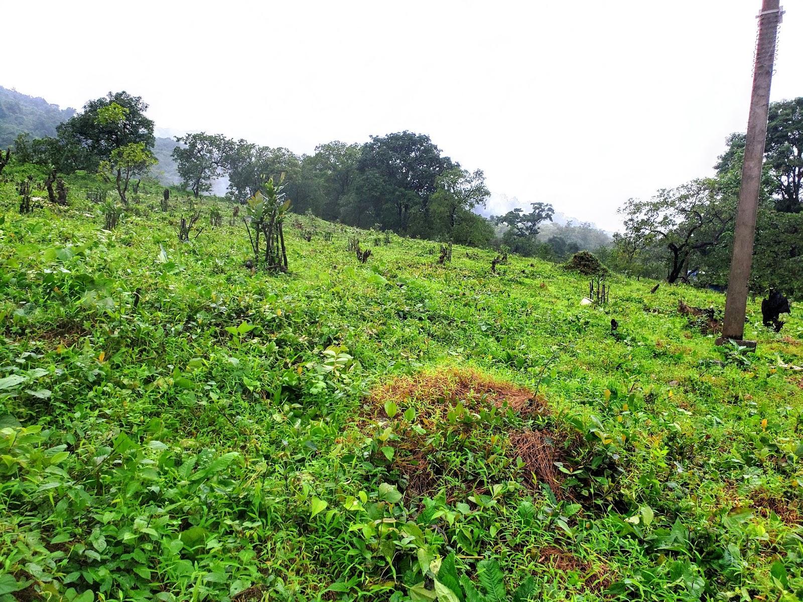 Cashew Plantation,  Sonaulim
