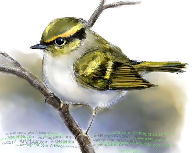 Pallas's leaf warbler sketch painting. Bird art drawing by illustrator Artmagenta
