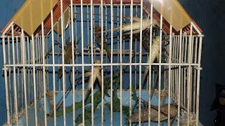 Masteran Belalang Kecek Agar Lovebird Bisa Ngekek Panjang