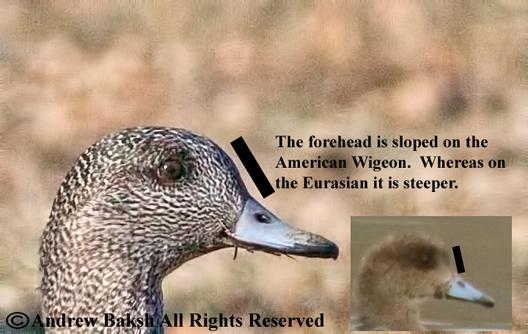 eurasian wigeon vs american wigeon