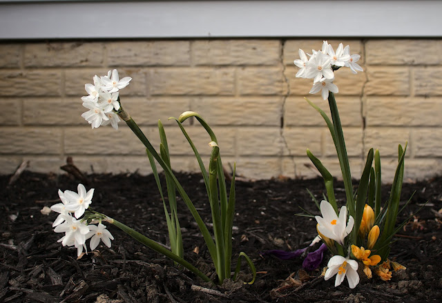 Several bunches of mini paperwhite daffodils and white, yellow, and purple crocus, all in bloom.