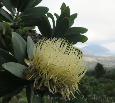 Protea nitida at Myburgh's Kloof in Hout Bay  in July