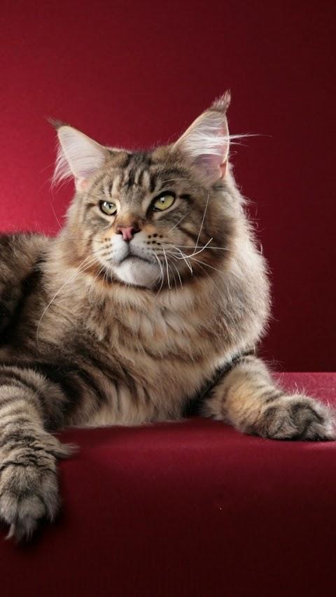 Mèo quý tộc