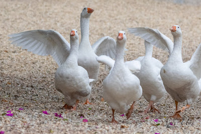 White Geese Manoeuvres in the Country