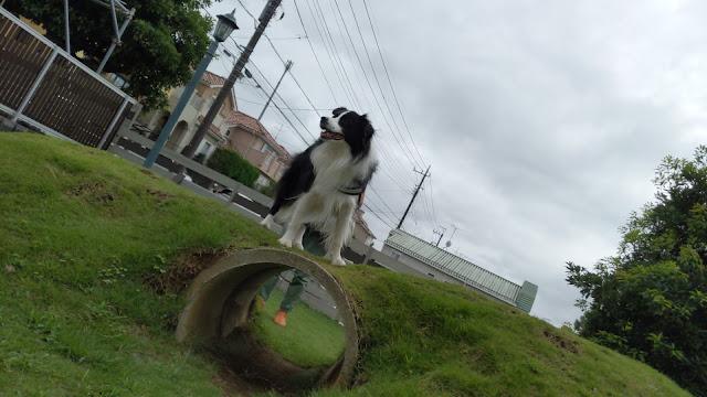 保護犬 ボーダーコリー トーマ ドッグランカフェ加恋ちゃん家