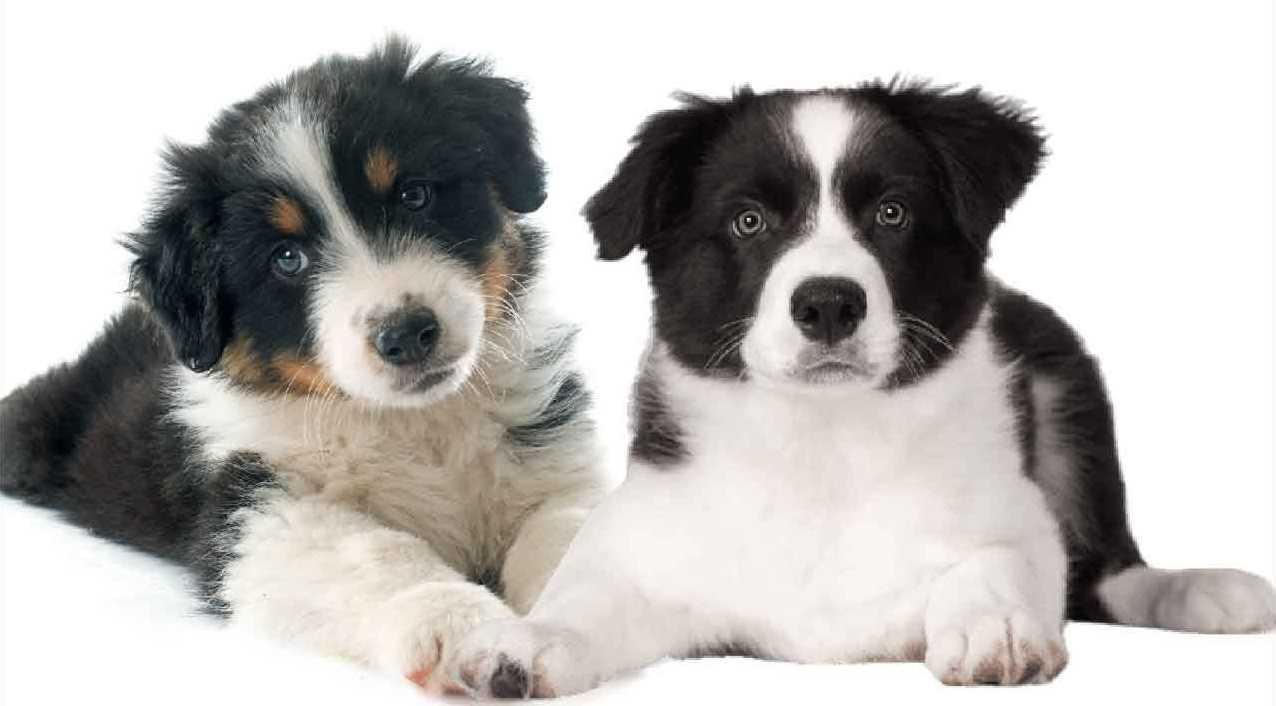 les animaux de la compagnie, bergers australiens, chien australien, animal hybride, berger australien