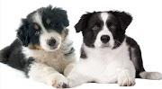 Le Border Collie croisé Berger Australien fait-il partie des chiens parfaits?