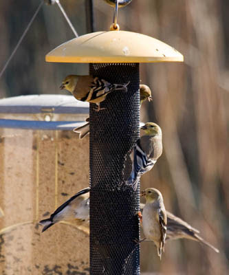 Photo of American Goldfinches on Niger seed feeder