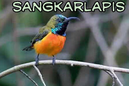 6 Cara Menjinakan Burung Sogok Ontong/Sriganti