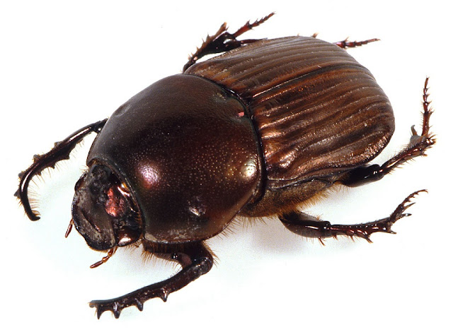 Tracing the ancestry of dung beetles