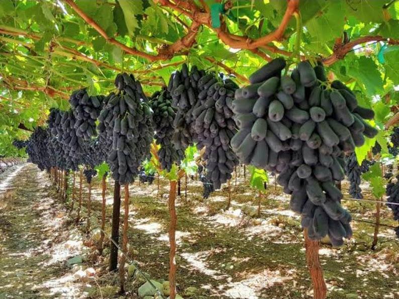 Bibit Anggur Import Moondrop Bibit Murah Berkualitas Unggul Cepat Berbuah Anggur Panjang Bontang