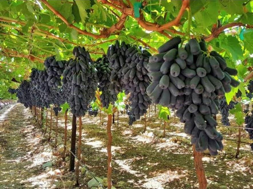 Bibit Anggur Import Moondrop Bibit Murah Berkualitas Unggul Cepat Berbuah Anggur Panjang Surakarta