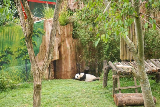 Ketemu Giant Panda di Taman Safari