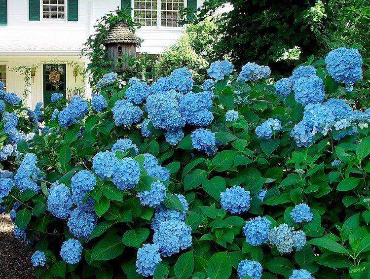 My Virtual Garden: Hydrangeas  Blue