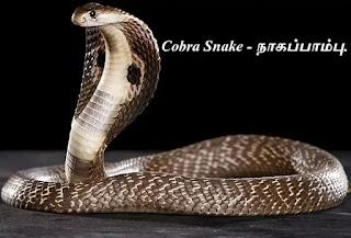 Cobra Snake.