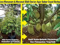 Cara Menanam Dan Merawat Bibit Durian Agar Subur Cepat Berbuah Yang Berbuah Lebat Terus