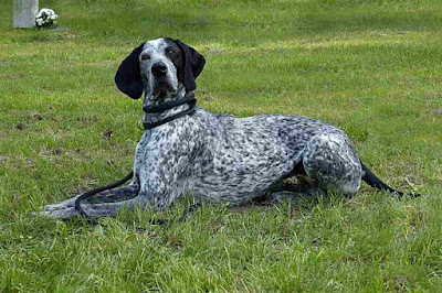 German Dog Breeds, german hunting dogs