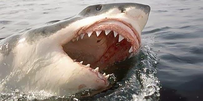 Great White Shark, Ikan paus terbesar