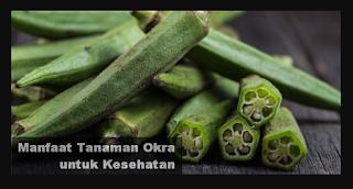 Manfaat Tanaman Okra untuk Kesehatan dan Pengobatan Alami