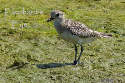 Little? stint or a grey plover?