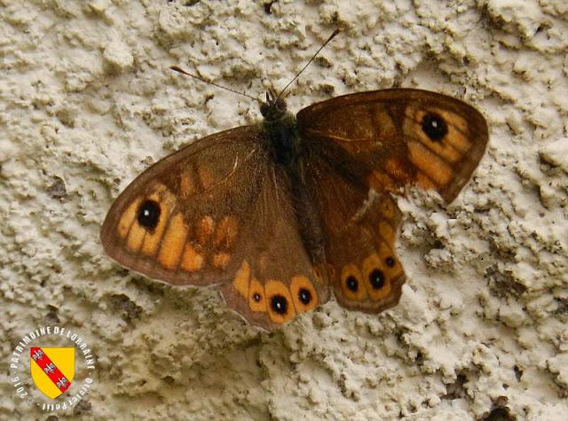 L'Ariane ou Némusien (Lasiommata maera)