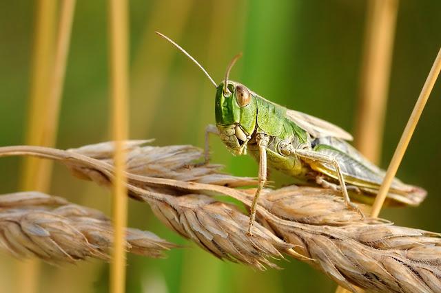 Locust Attack