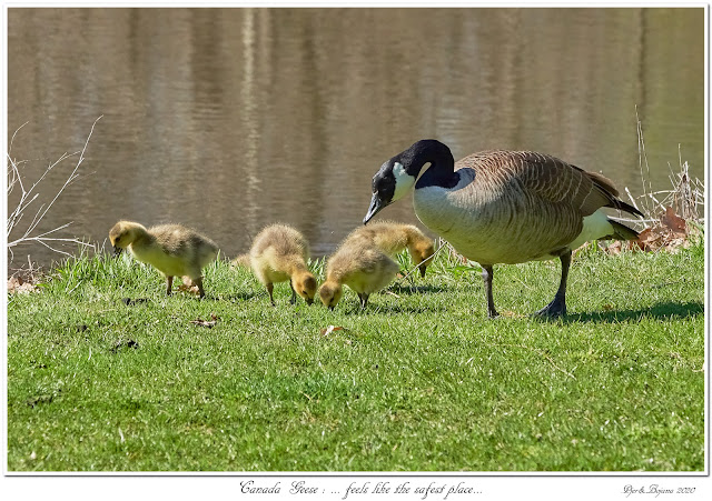 Canada Geese: ... feels like the safest place...