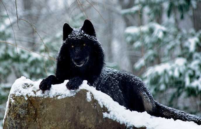 Image result for black wolf native american
