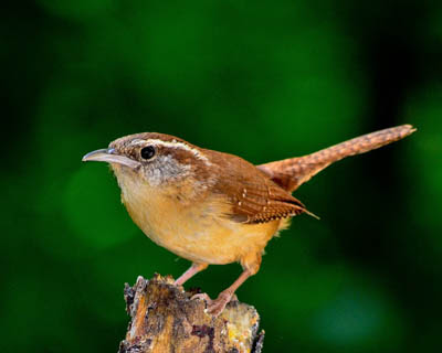 Photo of a Carolina Wren on a stump