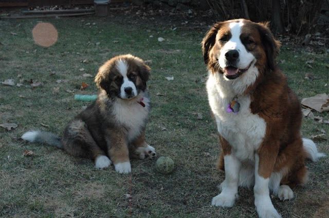 My biggest mistake as a pet owner: I should have purchased pet insurance for Hazel Saint Bernese