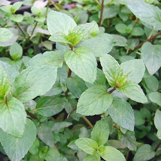 daun mint