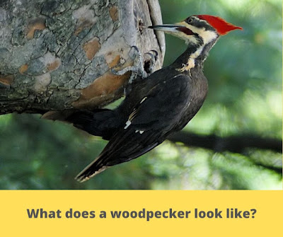 What does a woodpecker look like?
