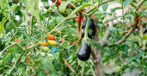 Σολανόδεντρο - Ένα δέντρο που μεγαλώνουν ντομάτες, πιπεριές και μελιτζάνες