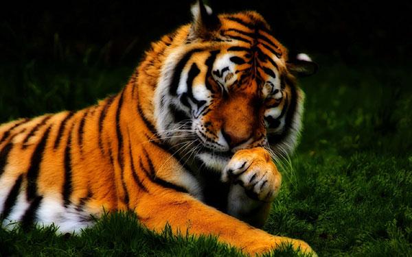 tiger  ke bachpan ka photo