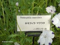 Baby blue eyes - Kyoto Botanical Gardens, Japan