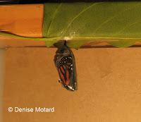 Monarch chrysalis 3 minutes before emerging - © Denise Motard