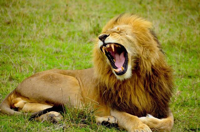 5 incríveis ataques de leões a turistas em Safari