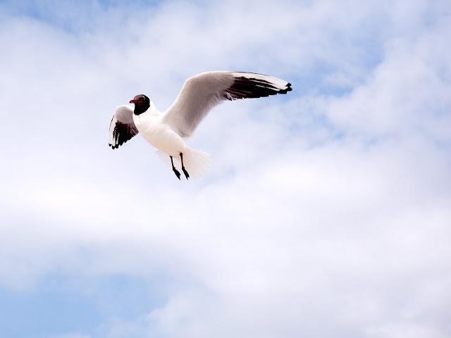 Lachmöwe - Chroicocephalus ridibundus - Black-headed Gull