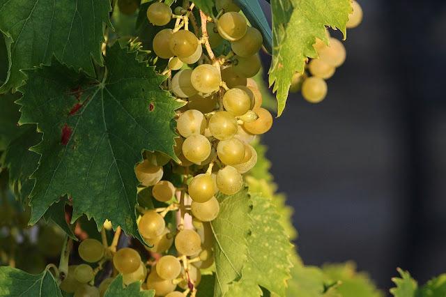 Parra (Vitis vinifera)