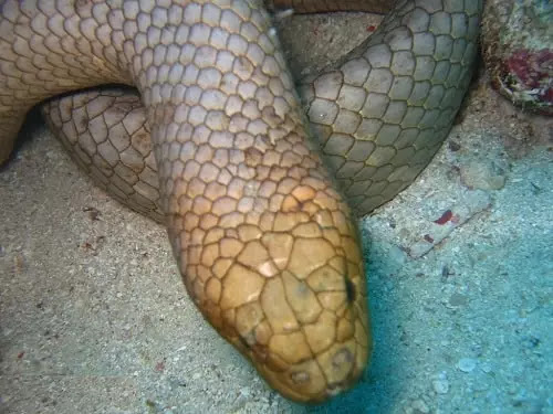gambar reptil ular laut zaitun
