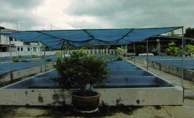 kolam ranchu