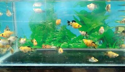 Akuarium Ikan Molly