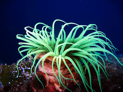 Sea Anemone Animals That Never Die