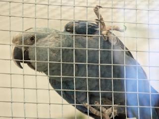 macaw spix