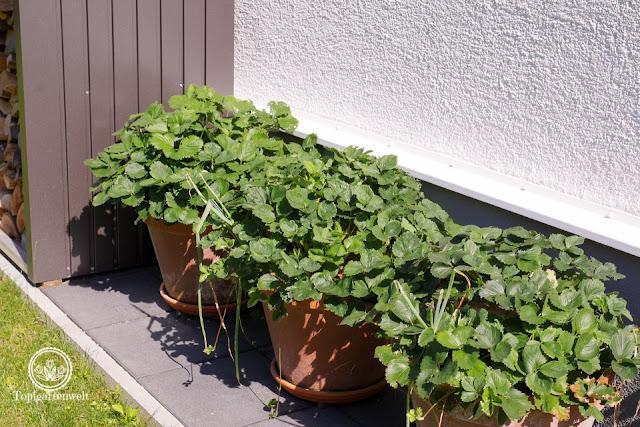 Erdbeerturm mit zwei Etagen - Gartenblog Topfgartenwelt