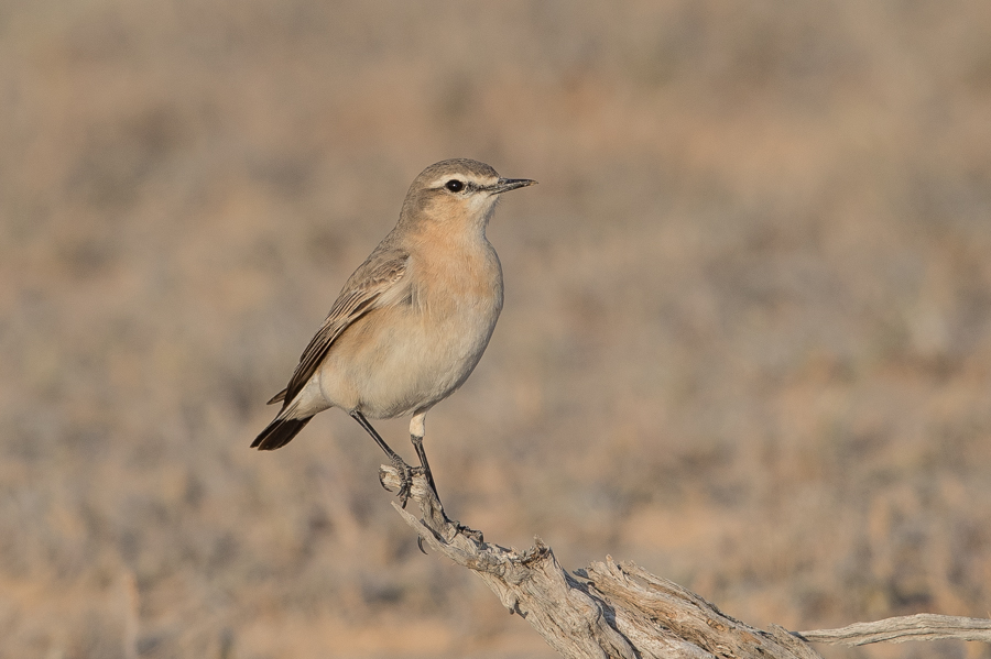 Northern Wheatear - female