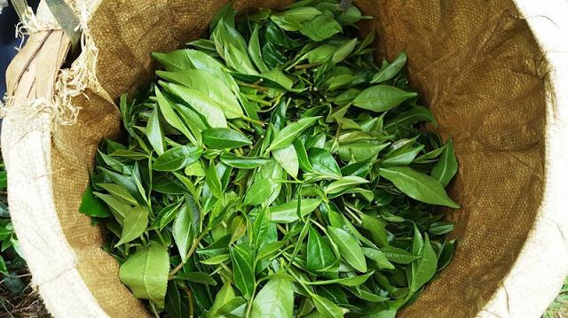 Tea harvest season in Yen Bai 6