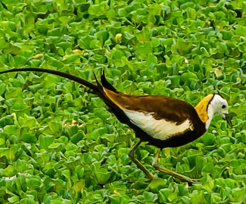 Indian birds - Picture of Pheasant-tailed jacana - Hydrophasianus chirurgus