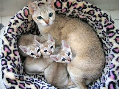 Kucing Singapura - Singapore Cat Breeding